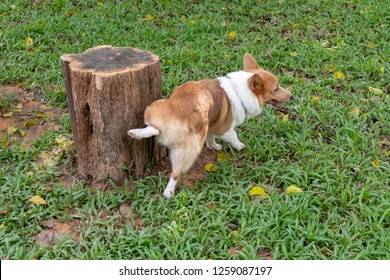 Adorable happy Pembroke Welsh Corgi peeing on a tree stump at at park on sunny day