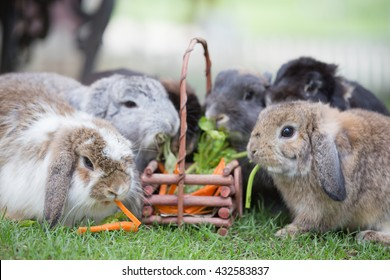 Adorable Holland lops rabbits is eating carrot and celery in wood basket