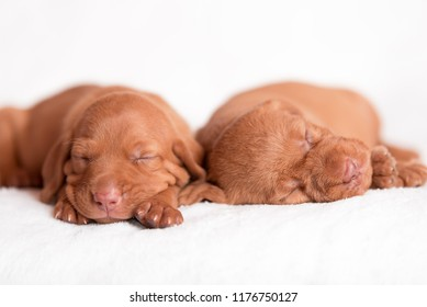Adorable hungarian Vizsla dogs on the white background
