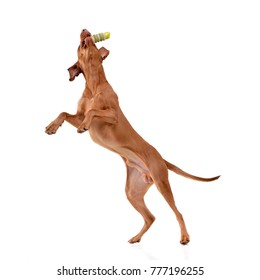 An adorable hungarian vizsla (magyar vizsla) catching a rubber stick - isolated on white background.