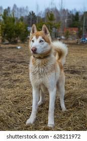 Adorable husky dog
