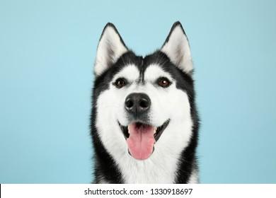 Adorable husky dog on color background
