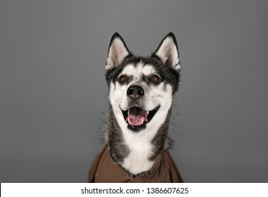 Adorable Husky dog wearing clothes on grey background