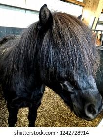 Adorable Icelandic Horses:  Vik Village, Iceland.