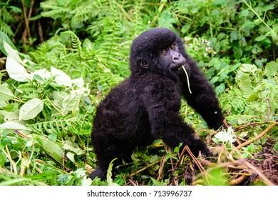 Adorable inquisitive baby mountain gorilla