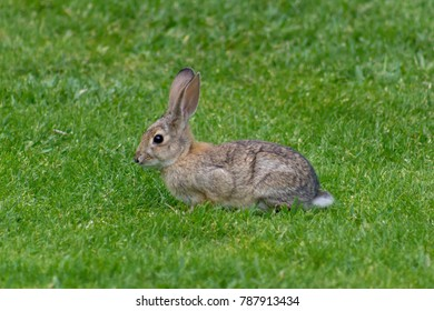 Adorable isolated rabbit in a field of grass.