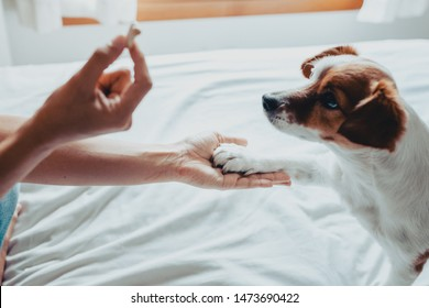 Adorable jack russell dog getting a cookie as a treat for good behavior from the hand of its owner. Train dog to shake Paws. Home leisure. Love concept.