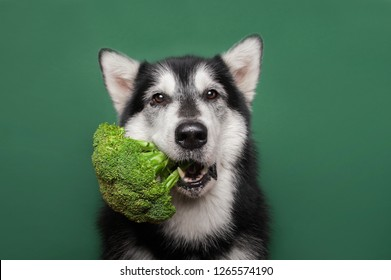 Adorable Jack russell terrier dog lying on the wooden floor. Yawns. The paws holding broccoli