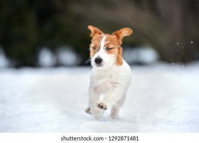 adorable jack russell terrier puppy outdoors in winter