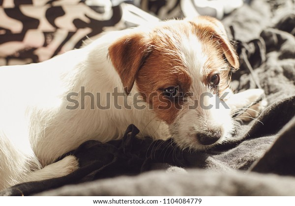 Adorable Jack Russell Terrier puppy sitting on a bed at home