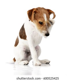 An adorable Jack Russell Terrier scratching her head - studio shot, isolated on white.