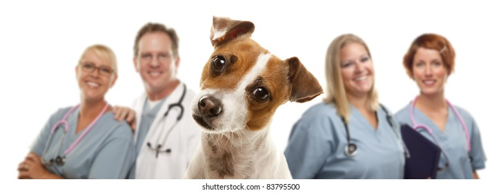 Adorable Jack Russell Terrier and Veterinarians Behind Isolated on a White Background.
