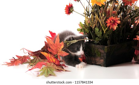 An adorable kitten playing among potted plants and fall foliage.  Isolated on white.