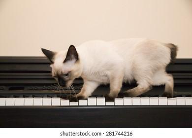 Adorable kitten walks on the piano keys
