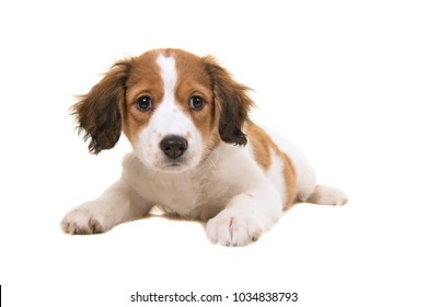 Adorable kooikerhondje puppy lying down looking at the camera isolated on a white background