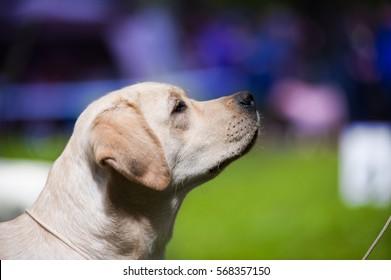 Adorable Labrador head, outdoors
