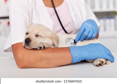 Adorable labrador puppy dog asleep during medical examination at the veterinary doctor - taking a nap on the arm of the healthcare professional