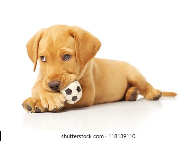 Adorable Labrador Puppy Playing with a Chew Toy on White Backdrop