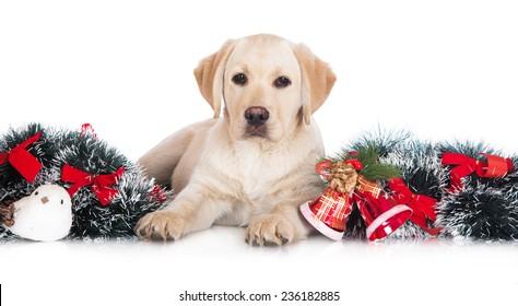 adorable labrador retriever puppy