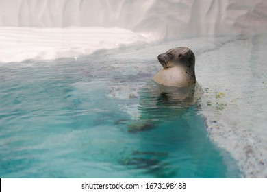 Adorable Largha seal bathing in clear water