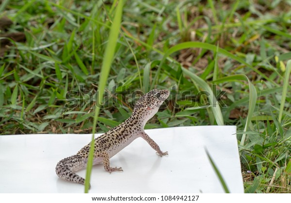 Adorable Leopard Gecko Morph Mack Snow Stock Photo (Edit Now