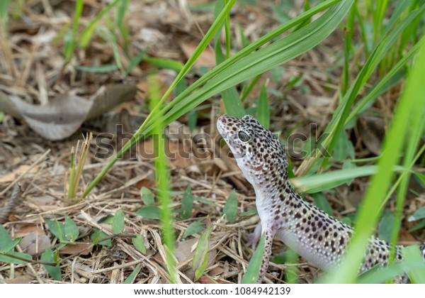 Adorable Leopard Gecko Morph Mack Snow Stock Photo (Edit Now