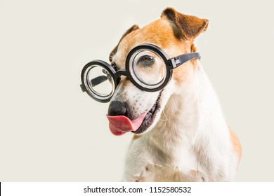 Adorable licking dog Jack Russell terrier in glasses. Grey background. fool around. back to school