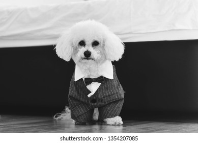 Adorable little Bichon Frise in a mobster suit