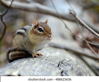 Adorable little chipmunk perched on a fallen log