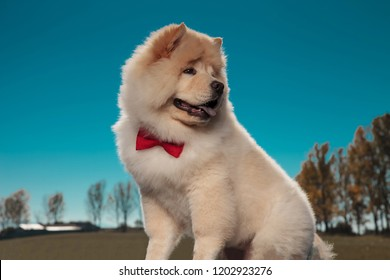 adorable little chow chow puppy dog looks back over its shoulder against outdoor background