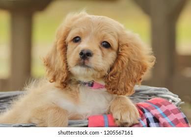 Adorable little cockapoo puppy