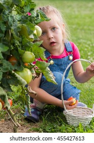 Adorable little girl collecting crop  tomatoes in garden
