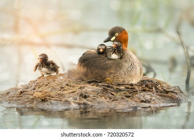 Adorable Little Grebe (Tachybaptus ruficollis), mother  duck with two babies resting on her back and one chicks walking around at floating nest on the lake