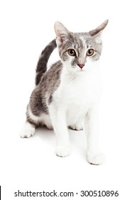 Adorable little grey and white color young kitten sitting and looking forward