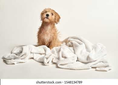 Adorable little puppy playing on a towel after bathing on a white background