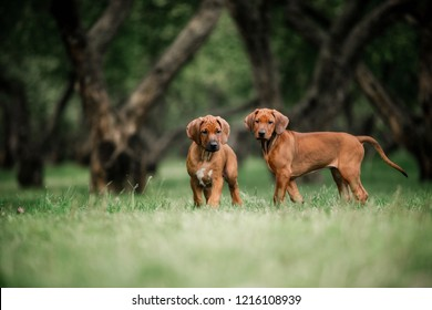 Adorable little Rhodesian Ridgeback puppies playing together in garden