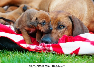 Adorable little Rhodesian Ridgeback puppies playing together in garden. Funny expressions in their faces. The little dogs are four weeks of age.