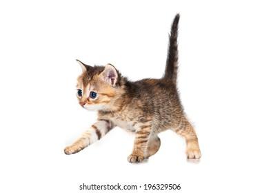 Adorable little tabby kitten walking