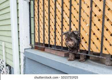 Adorable little terrier dog with his head stuck through a lattice on a porch, watching over his home like a gargoyle.