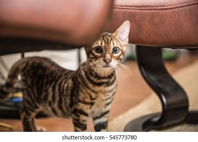 adorable little toyger kitten hiding under furniture - striped orange cat scared