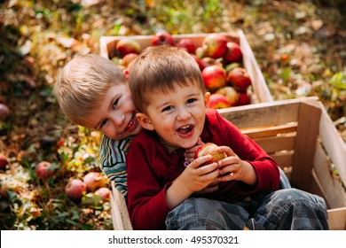 Adorable little two baby boys picking fresh ripe apples in fruit orchard.  Family fun during harvest time on a farm. Kids playing in autumn garden