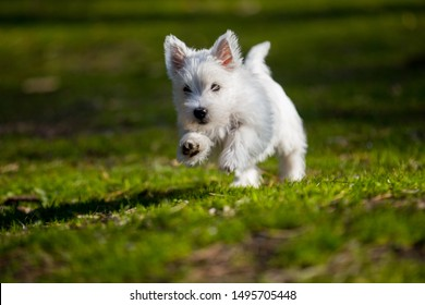 Adorable little West Highland white terrier dog playing in the park
