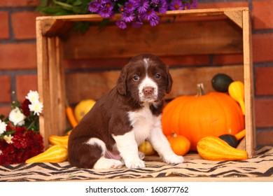 An adorable, liver and white colored Springer Spaniel sits in an Autumn themed still life.