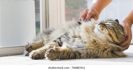 Adorable long haired cat in brushing time, siberian male