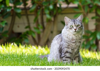 Adorable long haired cat in a garden, siberian purebred silver version