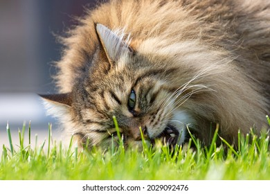 Adorable long haired cat in a garden, siberian purebred pet