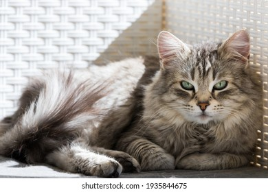 Adorable long haired cat of siberian breed in relax in a garden