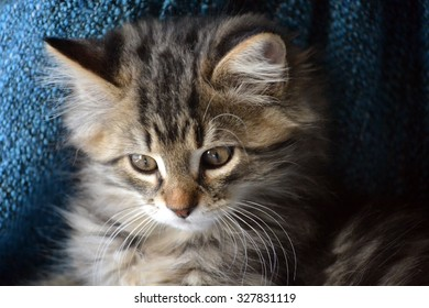 Adorable long haired kitten face, closeup, looking downward