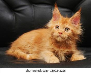 Adorable maine coon kitten