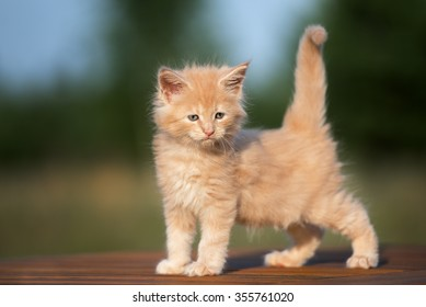 adorable maine coon kitten standing outdoors